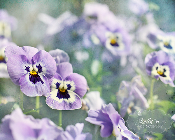 plentiful purple pansies web