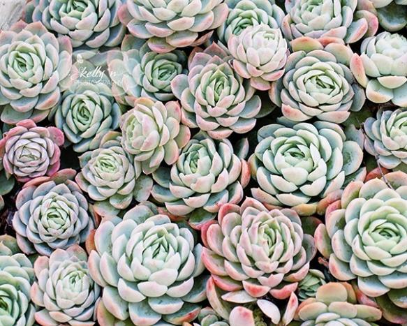 succulent roses 2 web