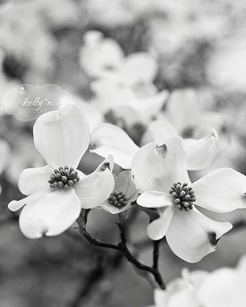 bw dogwood dance web