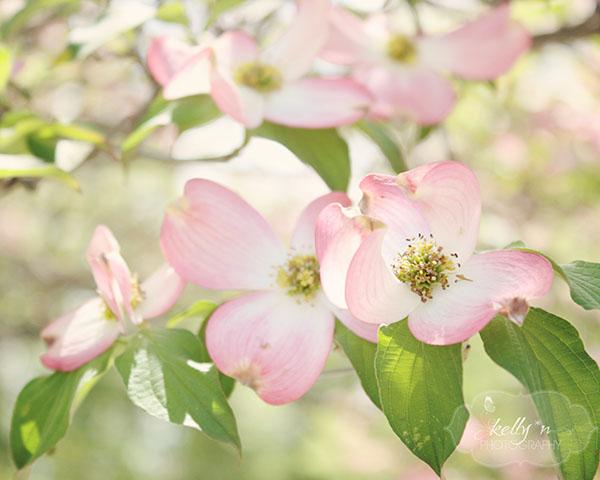 pink dogwood 11 web